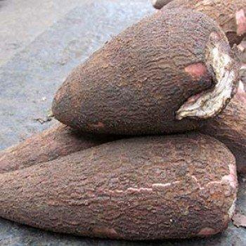 Manioc tubercule